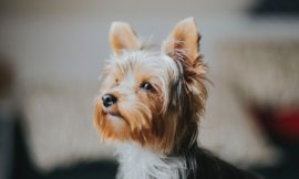How to choose a Yorkie dog trainer
