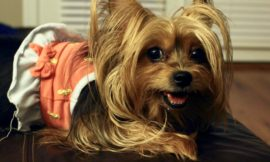 How to make your Yorkie stop growling