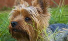 How to clean your Yorkie's teeth