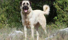 Anatolian Shepherd Dog Breed – History of This Working Dog
