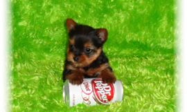 Teacup Yorkie Puppies For Sale in Findlay, Ohio