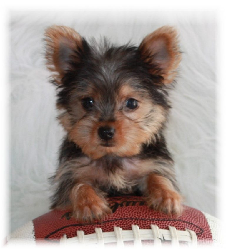 Teacup Yorkie Puppies For Sale in Oregon Blog