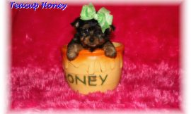 Teacup Yorkie Puppies For Sale in Tennessee Blog