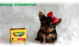 Teacup Yorkie Puppies For Sale in Wisconsin Blog