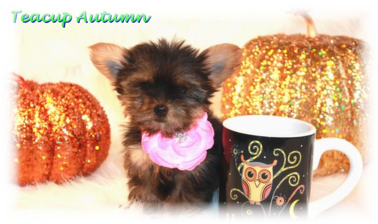 Teacup Yorkie Puppies For Sale in North Dakota Blog